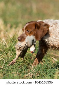 Brittany Spaniel out bird hunting