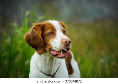 Brittany Spaniel out in a field of long grass