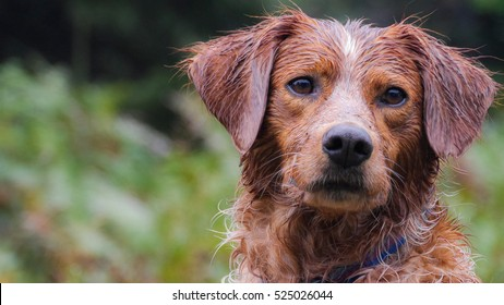 Brittany spaniel, portrait after a run in the forest