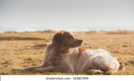 Brittany spaniel, portrait while rest at the beach