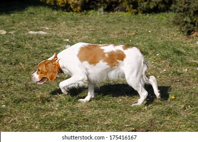 Brittany spaniel, young hunting dog sniffing