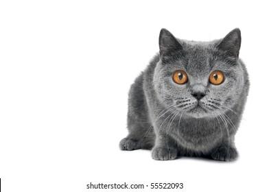 Brittish shorthair grey cat with big wide open orange eyes isolated