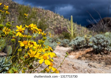 Brittle bush, Encelia farinosa with bright yellow wildflowers growing alongside the Pima Canyon trail in the Sonoran Desert. Saguaro cactus, ocotillo, prickly pear and mountains. Tucson, Arizona. 2019