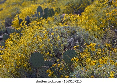 Brittlebush (encelia) in bloom and cactus in Sonoran desert