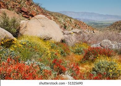 Brittlebush (Encilia farinosa) and Chuparosa (Beloperone californica); Anza-Borrego Desert State Park, California