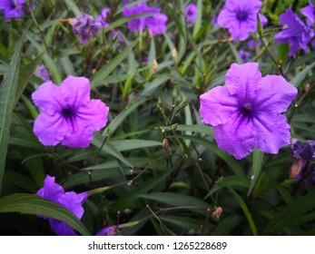 Britton's Wild Petunia/Mexican Bluebell/Mexican Petunia .