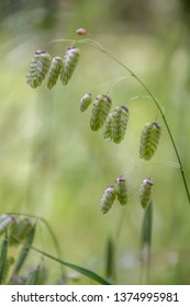 Briza maxima, aka big quaking or large quaking grass, blowfly or rattlesnake grass, shelly, rattle or shell grass as the flowers and seedheads shake on their stalks in the slightest breeze.