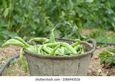 Broad beans on basket at the orchard
