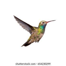 Broad billed Hummingbird male. Using a white background allows the picture to be used on various projects.