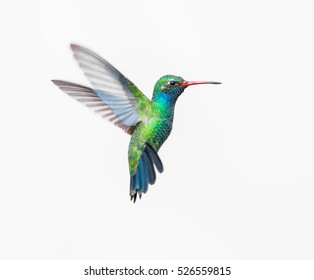 Broad Billed Hummingbird on a pure white background. Using different backgrounds the bird becomes more interesting and can easily be isolated for a project. These birds are native to Mexico.