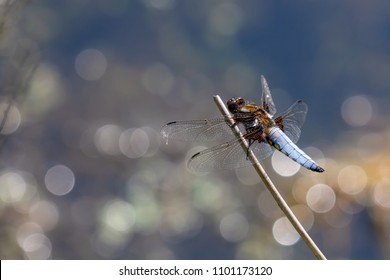 Broad Bodied Chaser (libellula depressa) Dragonfly on perch with beautiful bokeh background, Cornwall, UK