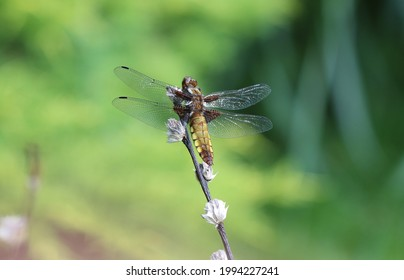 Broad bodied Chaser - sunbathing