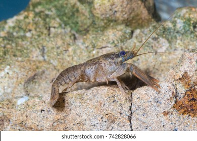 Broad fingered crayfish, astacus astacus in the pond