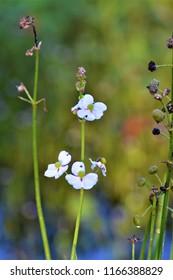 Broad Leaf Arrowhead Flowers