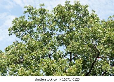 Broad Leaf Mahogany, False Mahogany, Honduras Mahogany fruit on tree.