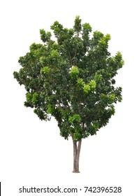Broad Leaf Mahogany isolated on white background  (Swietenia macrophylla King, False Mahogany, big leaf, Brazillian, Hondurus)