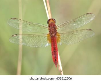 Broad Scarlet, Crocothemis erythraea