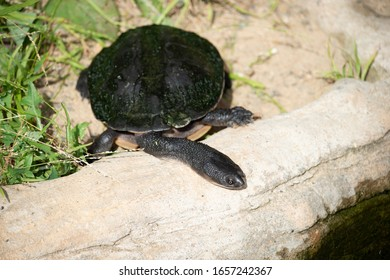 Broad Shelled Long Necked  turtle