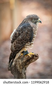 Broad Winged Hawk sits on a branch in an aviary park in North Carolina.