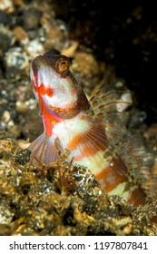 broad-banded shrimpgoby fish