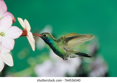Broad-billed Hummingbird, Cynanthus latirostris,male feeding on Nicotiana (Nicotiana sp.), Madera Canyon, Arizona, USA, May