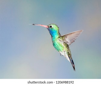broad-billed hummingbird stopped action
