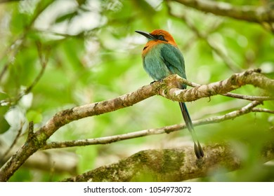 Broad Billed Motmot Electron Platyrhynchum Beautiful Coloured Bird Sition On A Branch Wildlife
