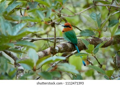 Broad-billed Motmot, Electron platyrhynchum. Pair of colorful tropical birds with rufous head and blue tail, native to wet forests of Central America. Rainforest wildlife photography. Boca Tapada.