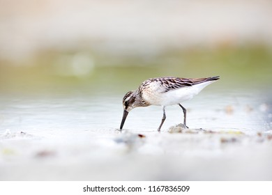 Broad-billed sandpiper is strongly migratory, spending the non-breeding season from easternmost Africa, through south and south-east Asia to Australasia. They forage in soft mud on marshes or coasts.
