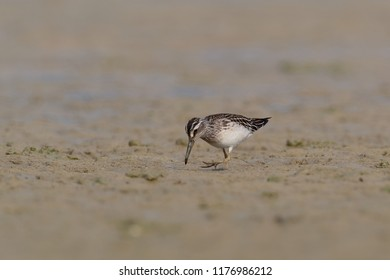 Broad-billed sandpipers are small waders, slightly smaller than the dunlin, but with a longer straighter bill, and shorter legs. Limicola falcinellus