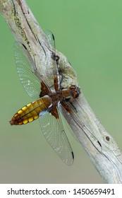Broad-Bodied Chaser - Libellula depressa