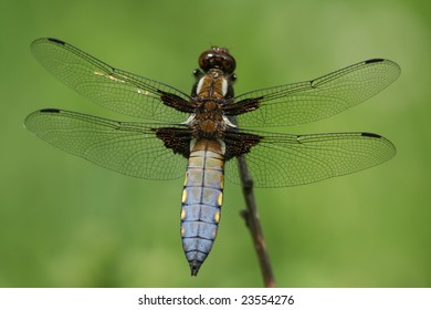 Broad-bodied dragonfly resting on a branch
