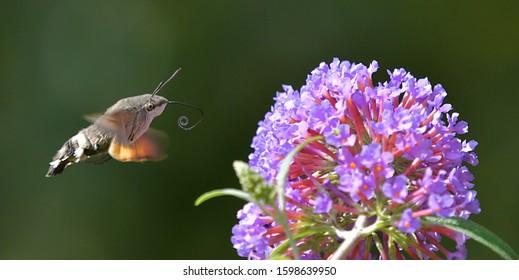 The broad-bordered bee hawk-moth (Hemaris fuciformis)