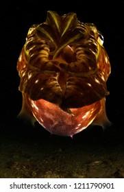 Broadclub Cuttlefish on night dive