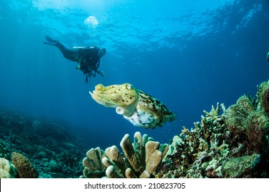 Broadclub cuttlefish Sepia latimanus in Gorontalo, Indonesia. The cuttlefish is swimming above the coral reefs.