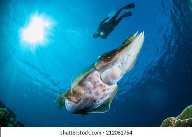 Broadclub cuttlefish Sepia latimanus in Gorontalo, Indonesia underwater photo. Broadclub cutlefish Sepia latimanus is swimming.