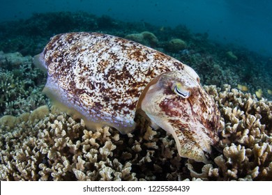 A Broadclub cuttlefish, Sepia latimanus, lays eggs in a coral reef in Raja Ampat, Indonesia. Cuttlefish have the ability to change their color to communicate or to camouflage themselves.