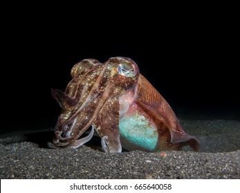 Broadclub Cuttlefish (Sepia latimanus) in the Lembeh Strait