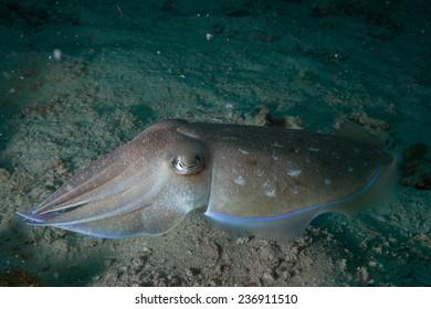 Broadclub cuttlefish (Sepia latimanus) swimming over coral reef in the Indian Ocean, Zanzibar