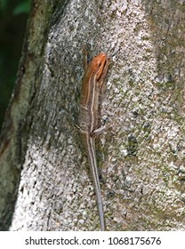 Broadhead skink blends in well climbing a tree except for it's pretty orange head which they only have during breeding season.