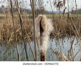 Broadleaf cattail (Typha latifolia), Bulrush, Common bulrush, Common cattail, Cat-o'-nine-tails, Great reedmace, Cooper's reed, Cumbungi, der Breitblättrige Rohrkolben or Širokolisni rogoz