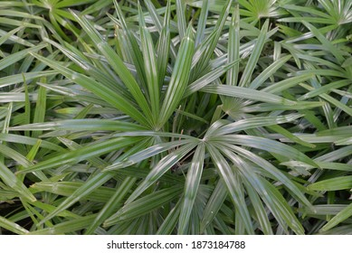 Broadleaf Lady Palm or Bamboo Palm (Rhapis excelsa), a fan palm native to Asia, in Hua Hin, Thailand, Asia
