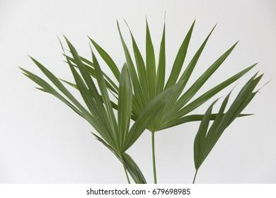 Broadleaf lady palm (Rhapis excels) on white background.
