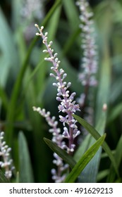 Broadleaf Liriope's light purple flowers blooming(Liriope platyphylla)