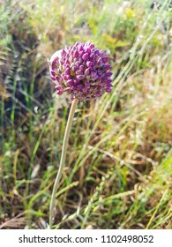 Broadleaf wild leek, Allium ampeloprasum, growing in Galicia, Spain
