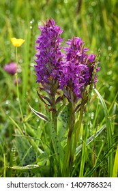 Broad-leaved Marsh Orchid, Dactylorhiza majalis. Wild orchids,  nature habitat.
