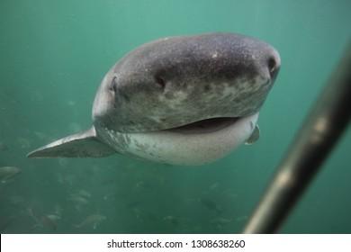 broadnose sevengill shark, Notorynchus cepedianus, approaching the cage, Seal Island, False Bay, South Africa, Atlantic Ocean