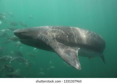 broadnose sevengill shark, Notorynchus cepedianus, Seal Island,  False Bay, South Africa, Atlantic Ocean