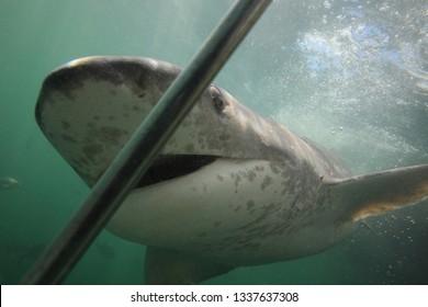broadnose sevengill shark, Notorynchus cepedianus, taking a close look at the cage, Seal Island, False Bay, South Africa, Atlantic Ocean