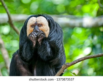 The broad-nosed apes are the only primates living on the American continent, with the exception of humans. Nostrils of the broad-nosed monkeys are directed forward, and the noses are generally larger